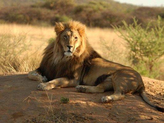 Le lion - Felin de la savane ...
